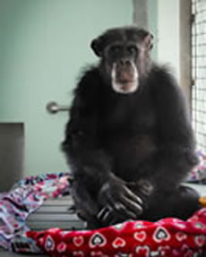 Ron, Resident of Save the Chimps